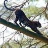 También se pueden ver ejemplares de leopardo en Lago Nakuru