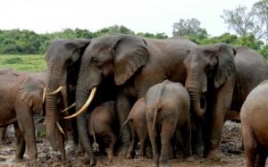 Manadas de elefantes acuden a las charcas de los hoteles árbol de Aberdares