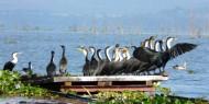 Cormoranes de pecho blanco en Lago Naivasha, Kenia