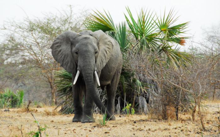 Elefante en un Safari por Kenia y Tanzania