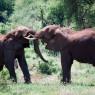 Pelea de elefantes en el Parque Nacional del Lago Manyara, Tanzania