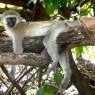 Mono Vervet descansando en el Parque Nacional del Lago Manyara, Tanzania