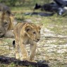 Cachorro de león se aleja ante la atenta mirada de su padre en el Coto de Selous