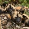 El licaón esta considerado el mejor cazador del mundo por el porcentaje elevadísimo de éxito de sus cacerías. Selous, Tanzania.