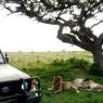 LEONES EN EL PARQUE NACIONAL DE SERENGETI, TANZANIA
