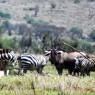 Grupo de cebras y ñus deambulando en la zona de Sinya, Tanzania