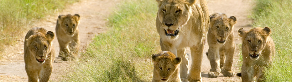 Leones observados durante un Safari en Kenia y Tanzania