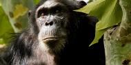 El principal interés de Gombe Stream son los primates