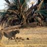 Guepardo en el Parque Nancional de Katavi, Tanzania