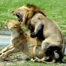 Katavi cuenta con un gran número de leones, entre otros depredadores