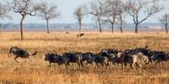 Grandes rebaños de ñus recorren el Parque Nacional de Mikumi