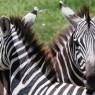 Cebras descansando las cabezas en el Cráter de Ngorongoro, Tanzania