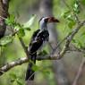 El cálao de pico rojo es el ave dominante entre las más de 550 especies diferentes que se encuentran en el Parque