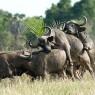 La recuperación de la fauna del parque es espectacular, ya se pueden ver grandes manadas de búfalos