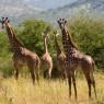 Jirafas en el Parque Nacional de Tarangire, Tanzania