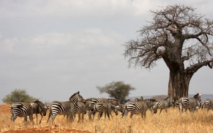 Los milenarios baobabs de Tarangire