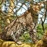 Leopardo en el bosque de acacias amarillas del P.N. del Lago Nakuru
