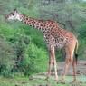 Los animales no saben de fronteras y es frecuente ver jirafas fuera del Parque en el Área de la Reserva