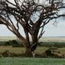 Familia de gacelas Thomson´s bajo un enorme árbol en el Parque Nacional de Amboseli
