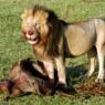 Escenas de leones con presas son habituales en Masai Mara