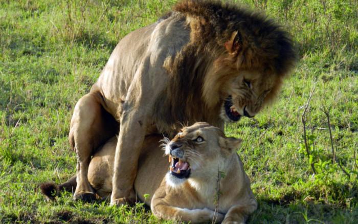 Masai mara - Leones apareamiento ...