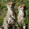 Los guepardos, el animal terrestre más veloz, son fáciles de ver en Masai Mara
