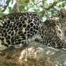 En Masai Mara sólo se necesita un poco de suerte para poder ver al siempre esquivo leopardo