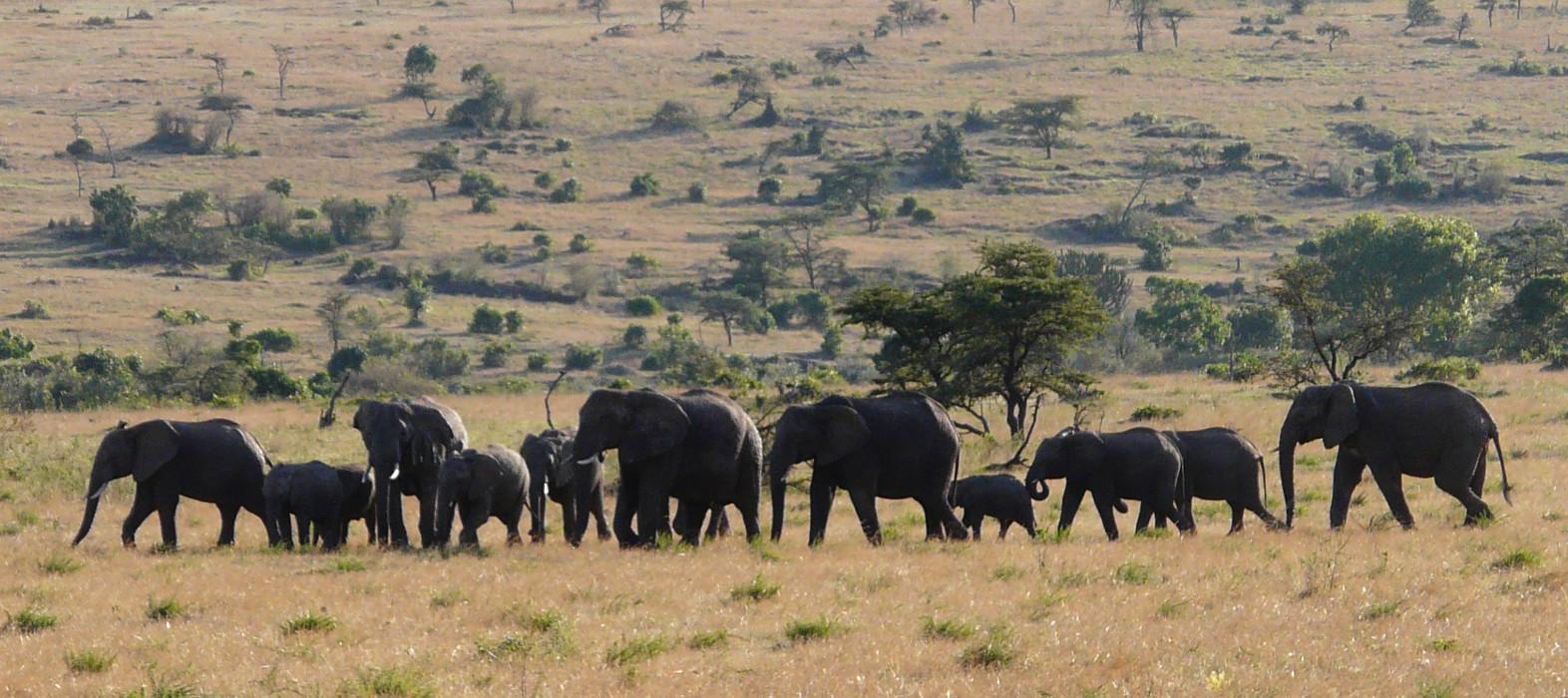 Manadas de Elefantes cruzan las llanuras de Tanzania y Kenia