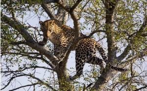 shutterstock_77267194 Leopard - Kruger National Park, South Africa
